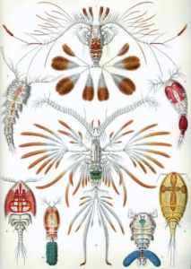 Copepods by Haeckel